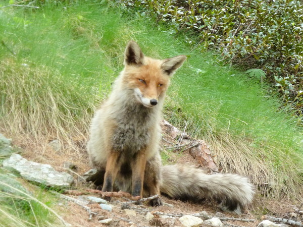 Foxy Italian
