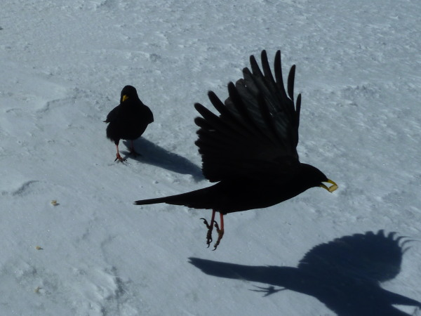 Choughs like cheese