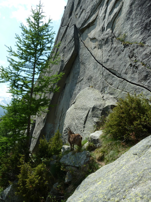 Ibex psyching up for the Fissura del Desperatione